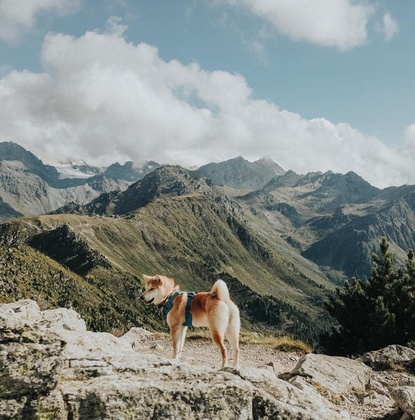 High altitude sickness for dogs