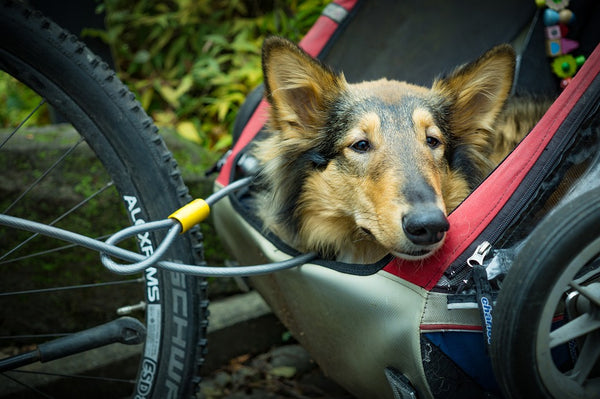 dog in bike trailer