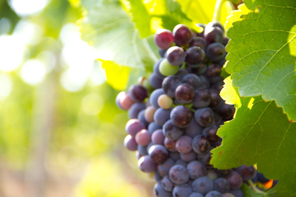 grapes_meandtuscany