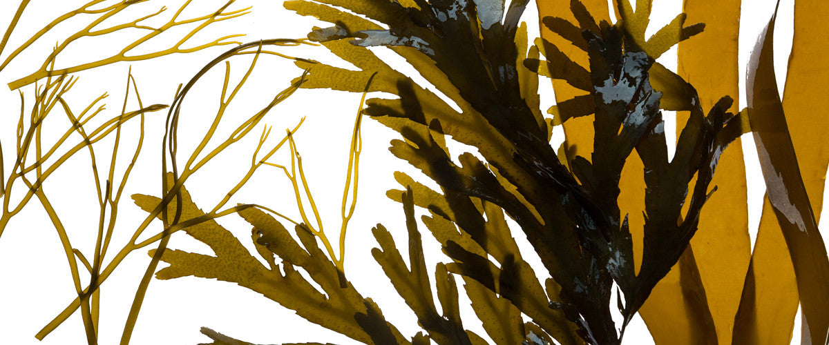 Living Sea Therapy | Cornish Seaweed