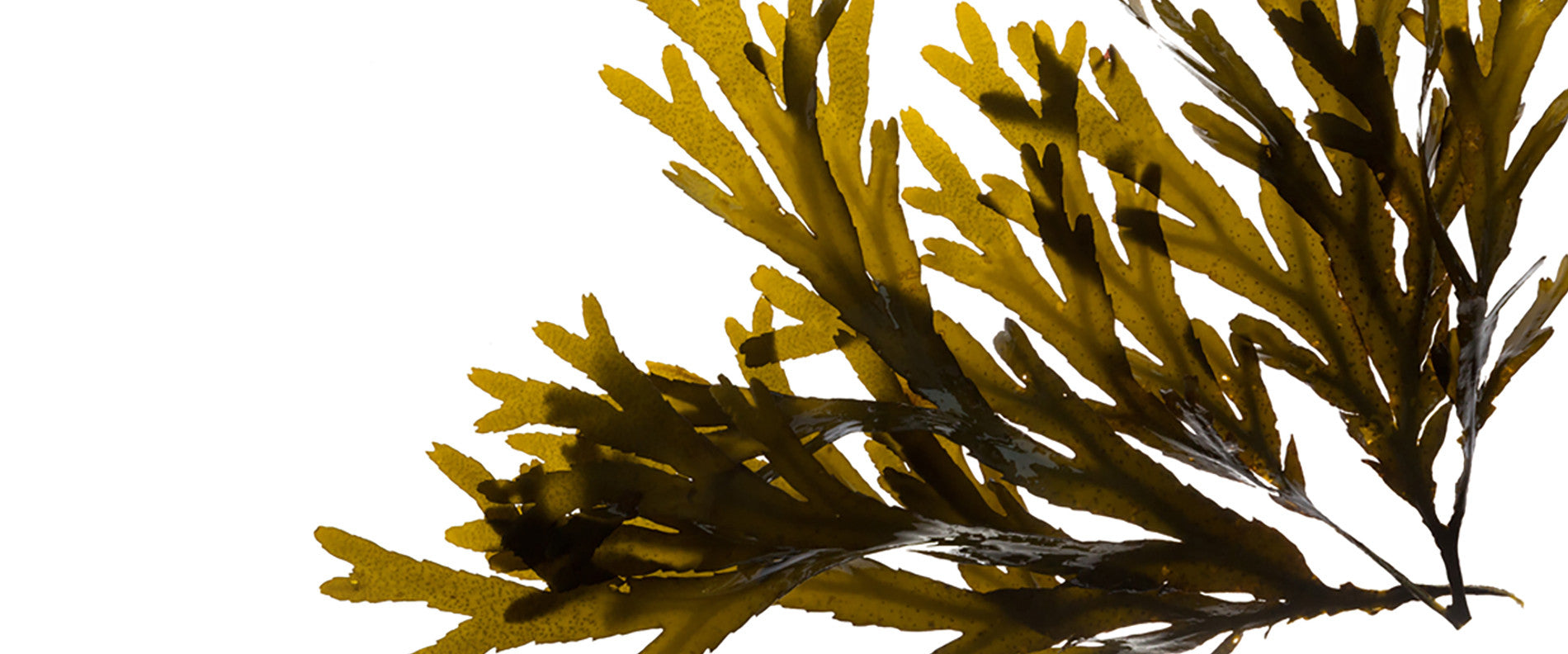Cornish Seaweed Company Bladderwrack | Living Sea Therapy