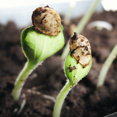 seed sprouting from soil