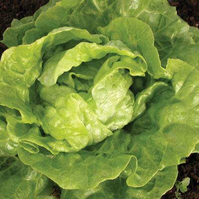 Tom Thumb Lettuce