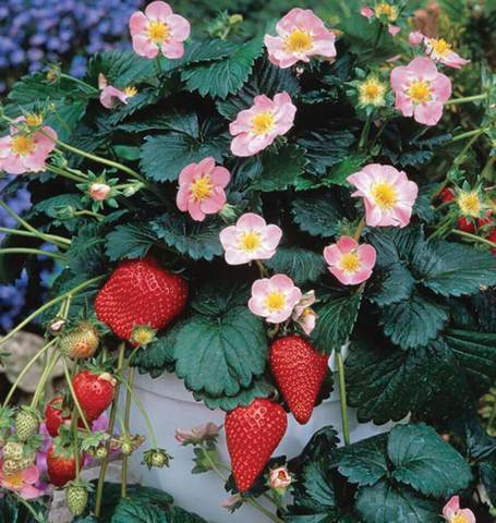 Hot Berri Pink Strawberries