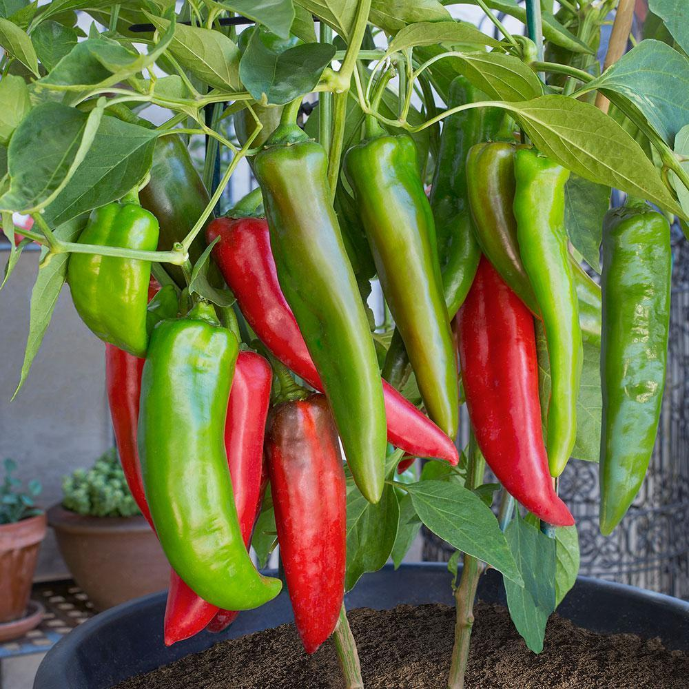Hot Anaheim Peppers