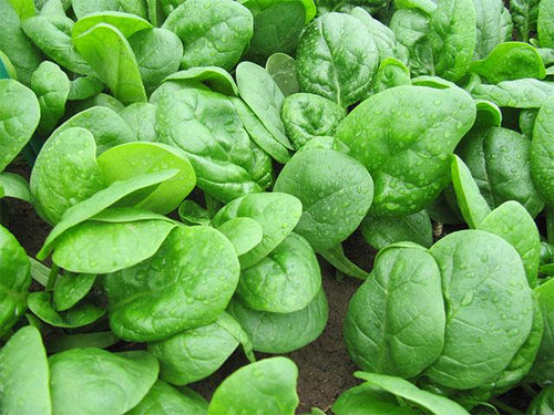 Corvair Organic Spinach