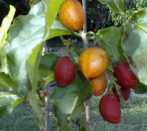Peanut Butter Fruit Tree
