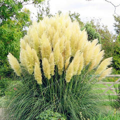 Pampas Seeds (Pack of 500)