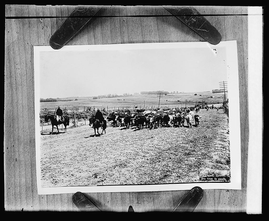 16 x 20 Reprinted Old Photo ofA herd of cattle in Uruguay 1919 National Photo Co  53a