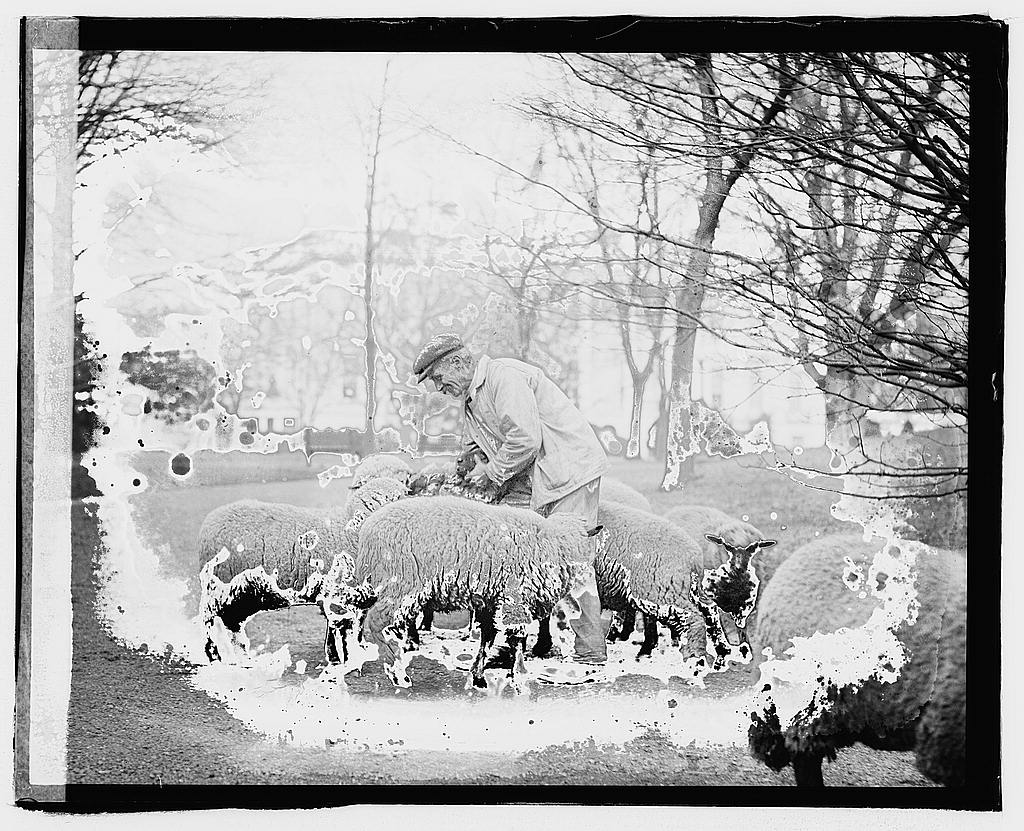 8 x 10 Reprinted Old Photo of White House sheep 1920 National Photo Co  44a