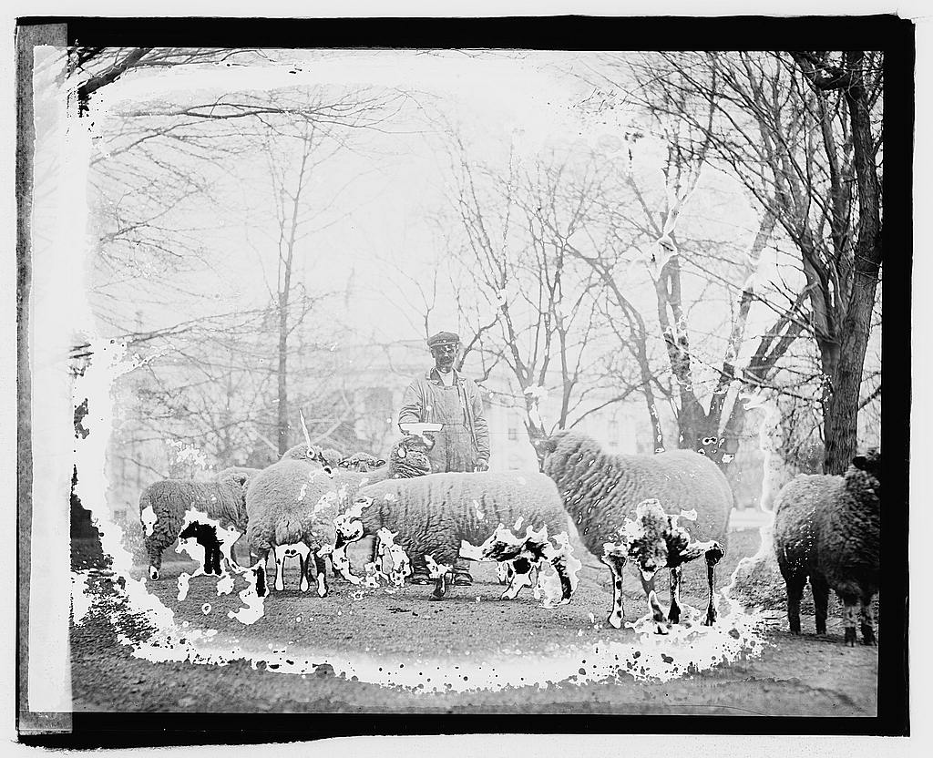 8 x 10 Reprinted Old Photo of White House sheep 1920 National Photo Co  46a