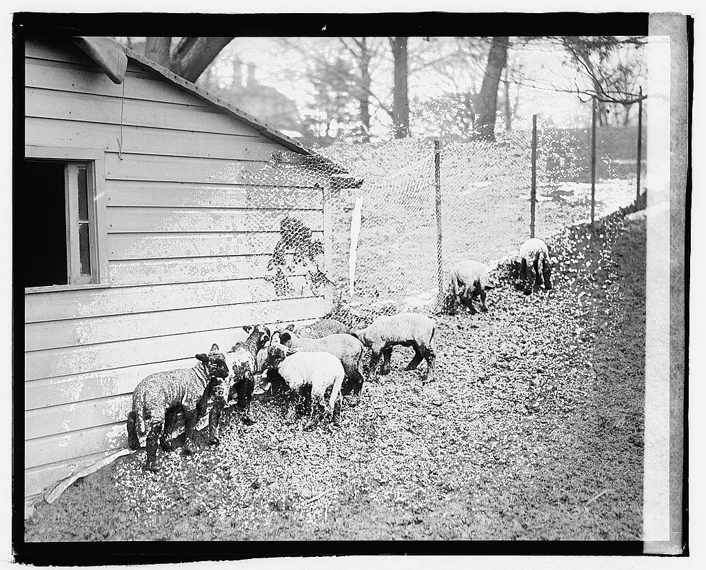 8 x 10 Reprinted Old Photo of White House lambs 1920 National Photo Co  18a