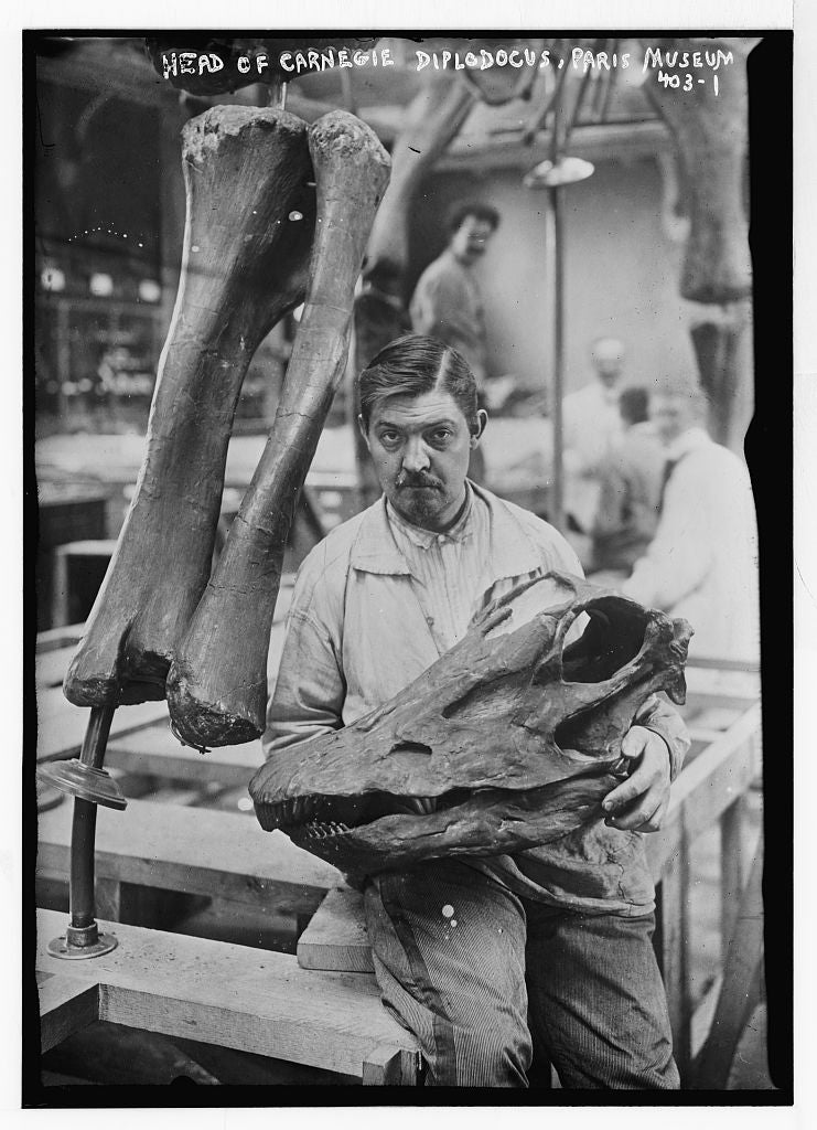 8 x 10 Photo of Museum worker holding head of Carnegie Diplodocus, Paris 1890-1920 G. Bain Collection 23a
