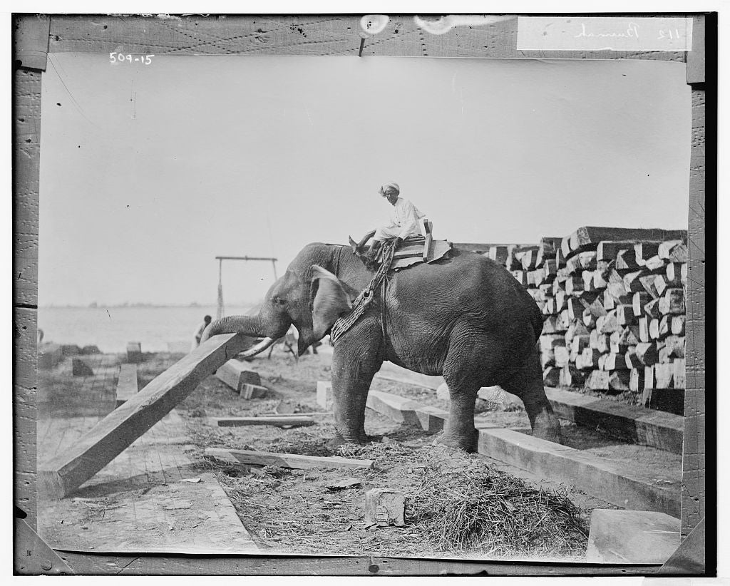 8 x 10 Photo of Burmah: elephant working 1890-1920 G. Bain Collection 65a
