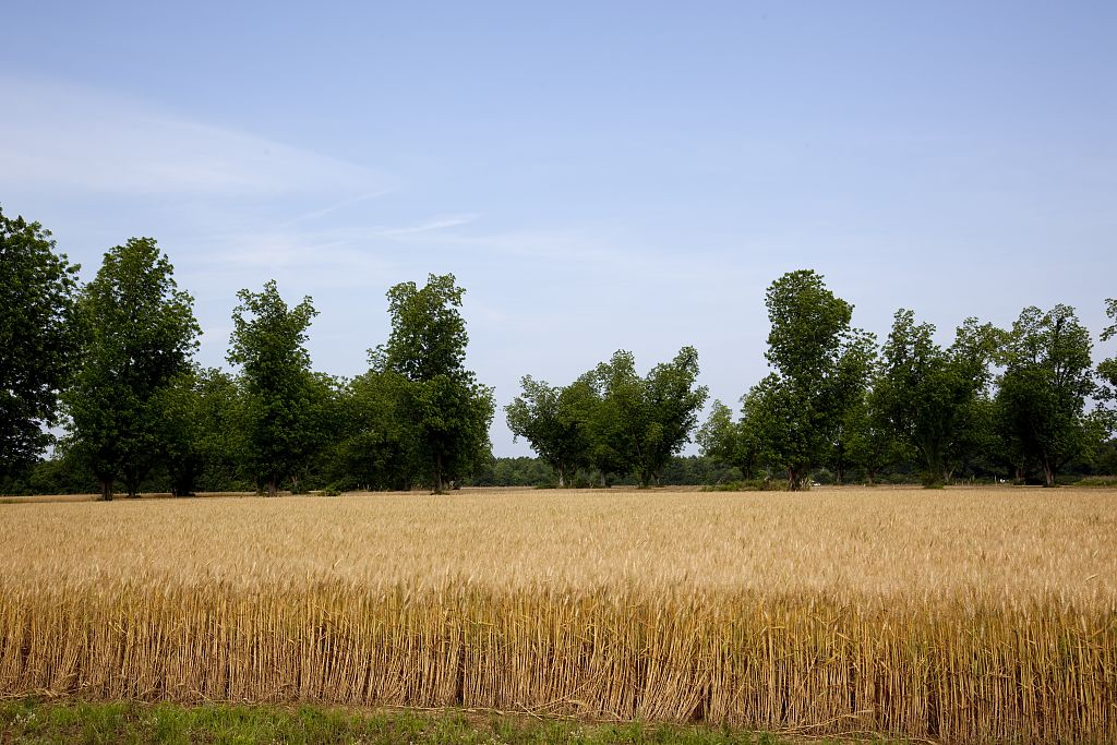 18 x 24 Photograph reprinted on fine art canvas  of A wheat field in Atmore Alabama r48 2010 May 14 by Highsmith, Carol M.