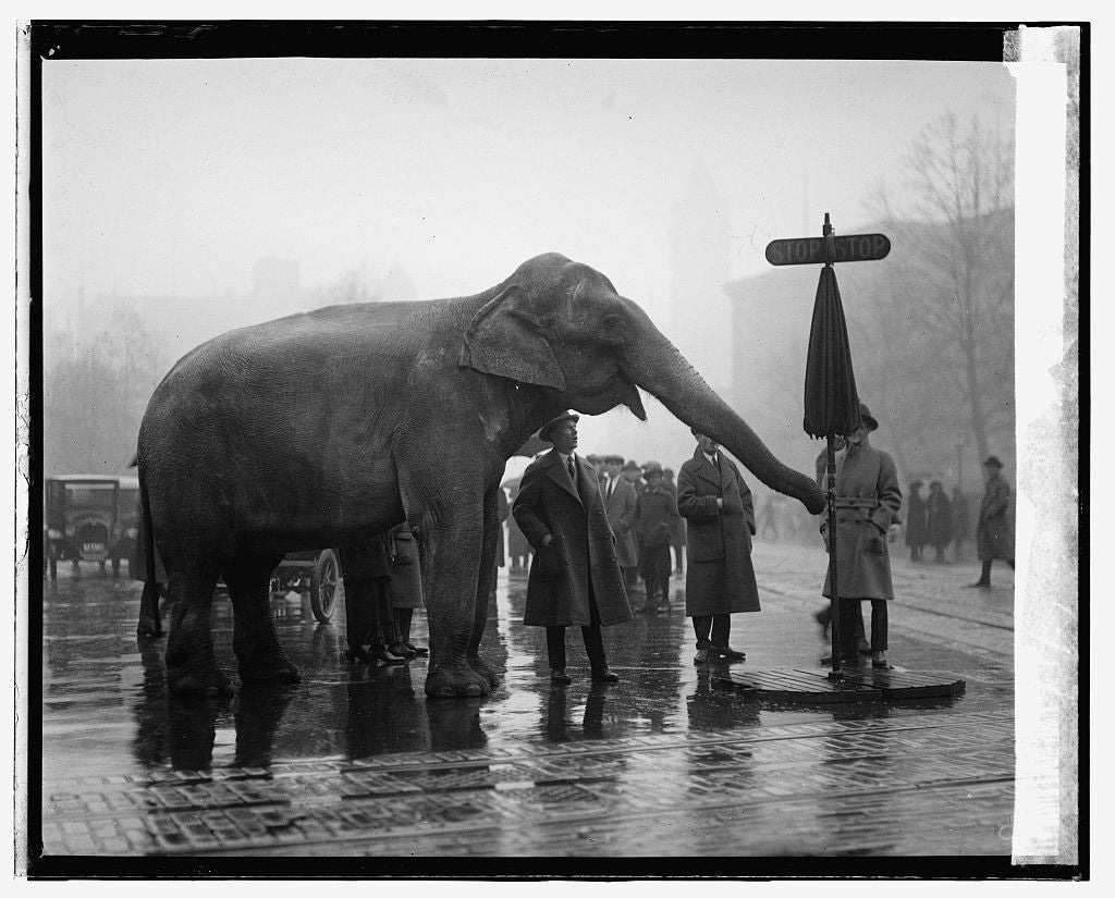 16 x 20 Gallery Wrapped Frame Art Canvas Print of Elephant, 12/5/23 1923 National Photo Co  13a