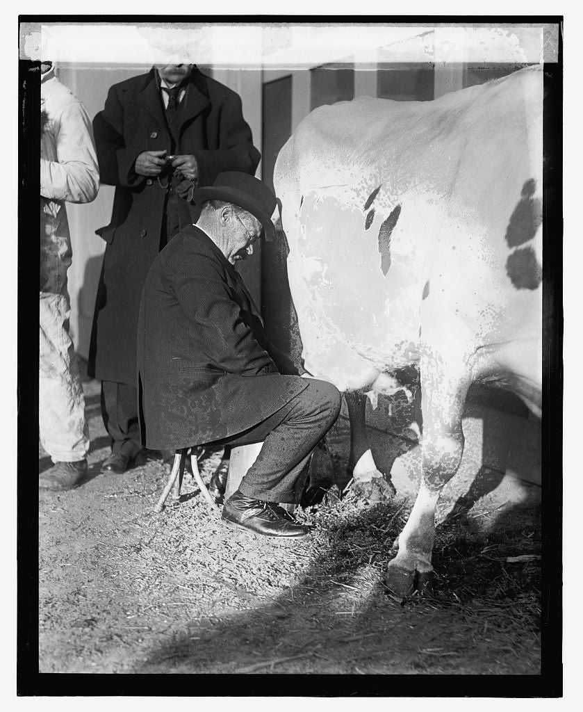 16 x 20 Reprinted Old Photo ofSen. Johnson milking, 12/29/23 1923 National Photo Co  94a