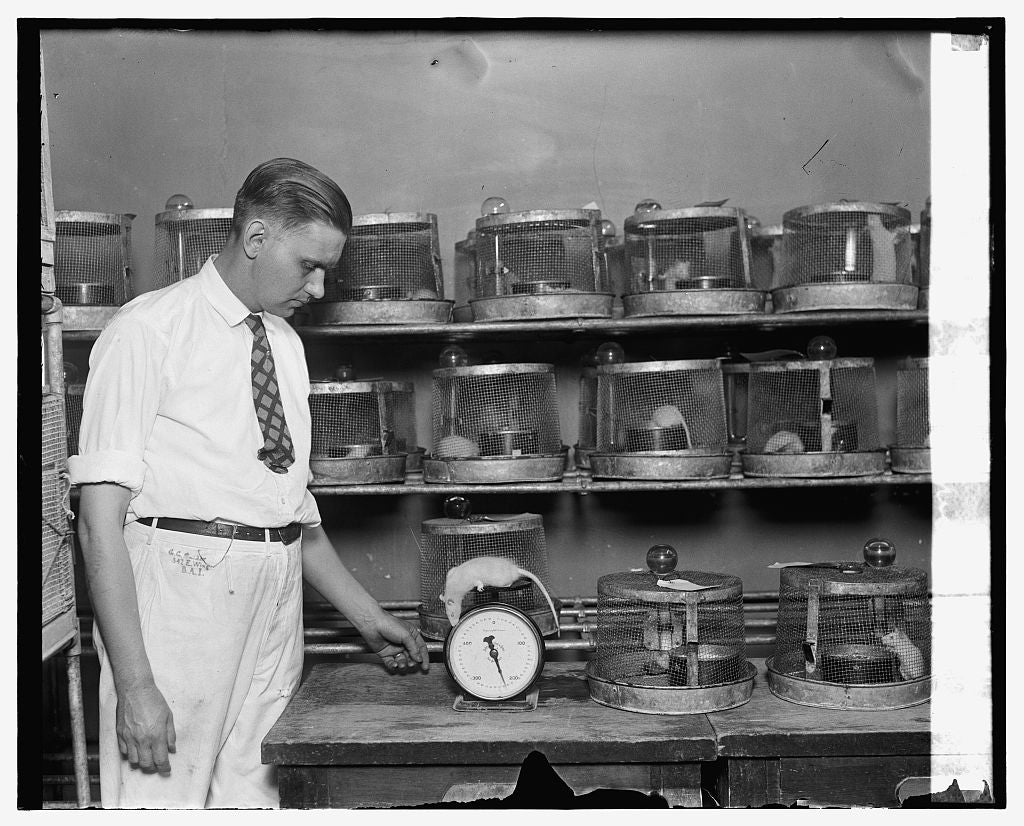 16 x 20 Gallery Wrapped Frame Art Canvas Print of Geo. Snider weighing rats, 6/28/26 1926 National Photo Co  51a