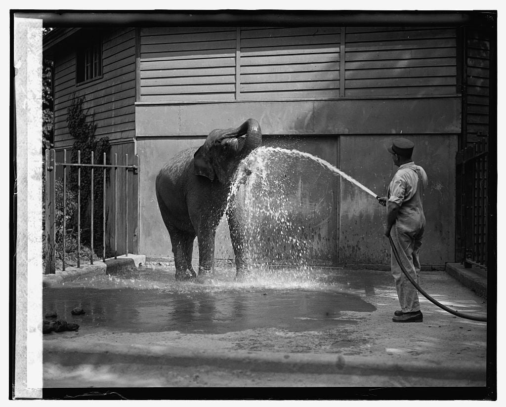 16 x 20 Gallery Wrapped Frame Art Canvas Print of Elephant at zoo, 7/28/26 1926 National Photo Co  54a
