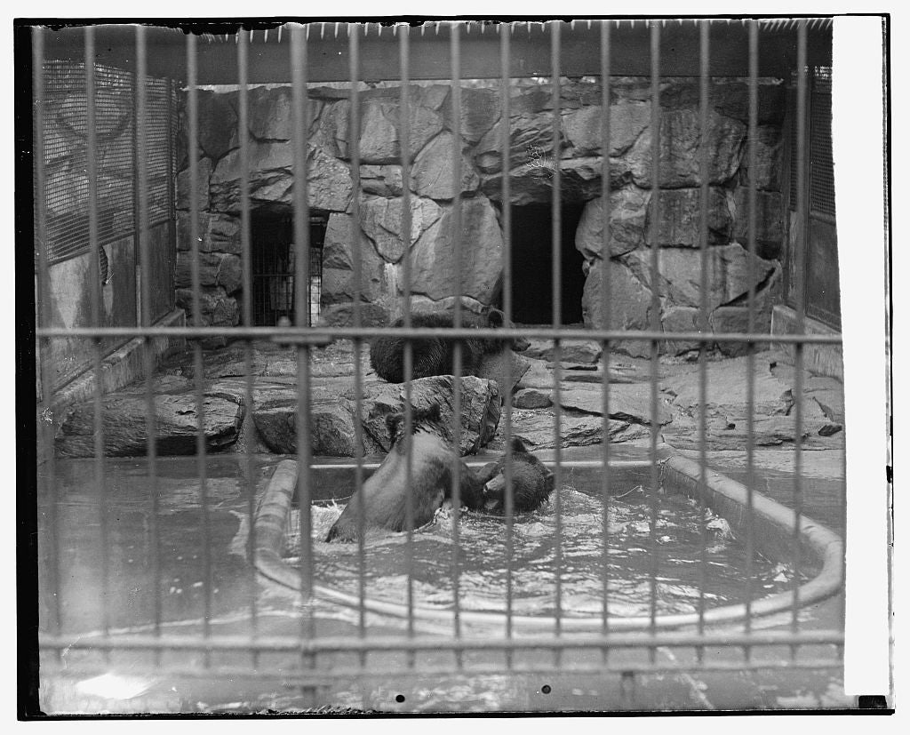 16 x 20 Gallery Wrapped Frame Art Canvas Print of Bears at zoo 1921 National Photo Co  87a