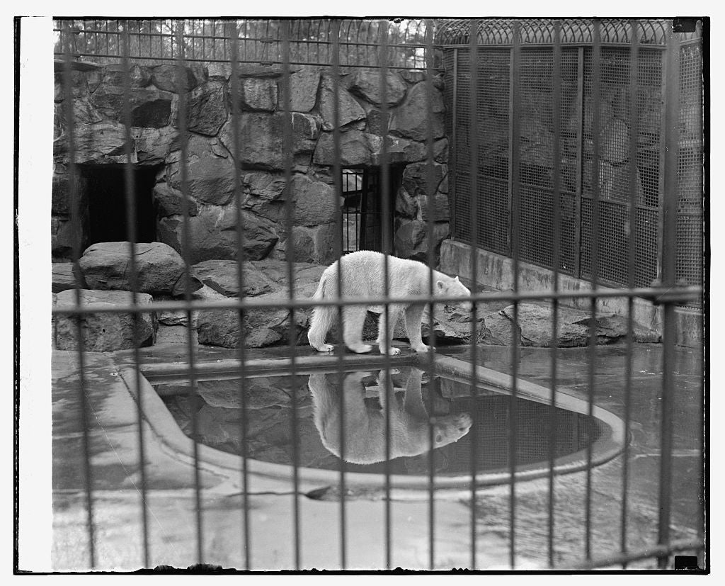 8 x 10 Reprinted Old Photo of Polar bear at zoo 1921 National Photo Co  52a