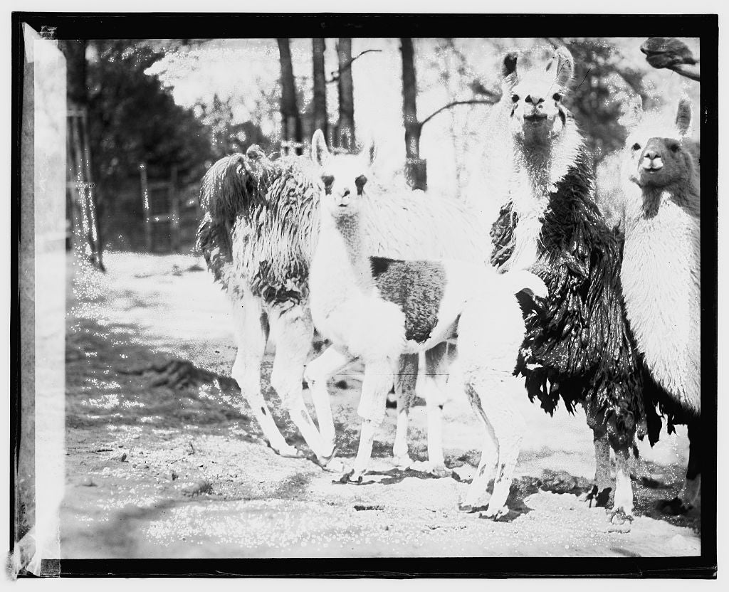 16 x 20 Gallery Wrapped Frame Art Canvas Print of  Zoo, llama 1909 National Photo Co  66a