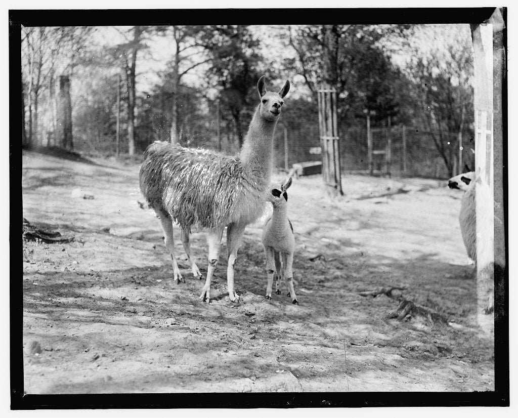 16 x 20 Reprinted Old Photo of Zoo, llama 1909 National Photo Co  97a