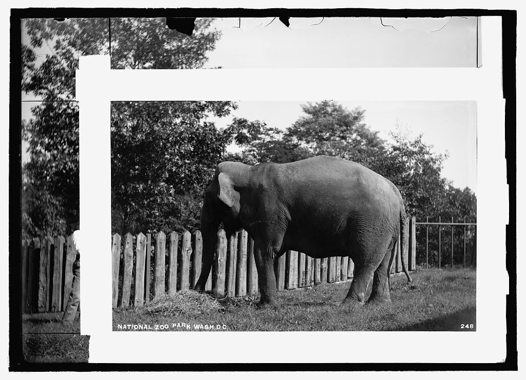 16 x 20 Reprinted Old Photo of National Zoo Park, Wash., D.C.: elephant 1909 National Photo Co  77a