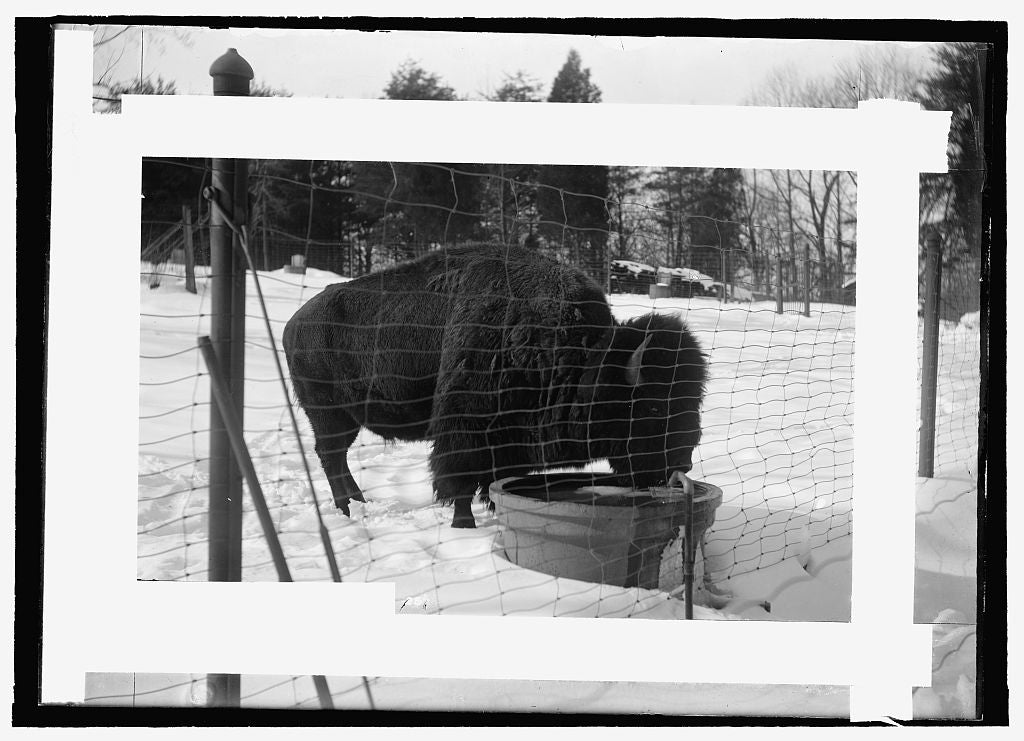 8 x 10 Reprinted Old Photo of  Zoo: buffalo 1909 National Photo Co  81a