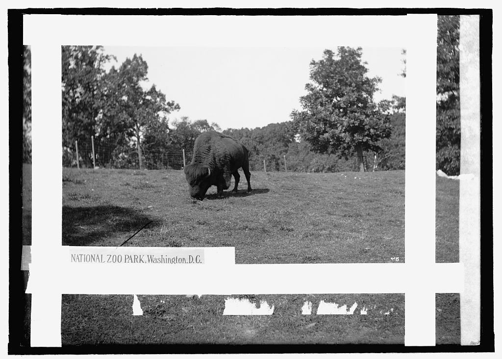 8 x 10 Reprinted Old Photo of  Zoo: buffalo 1909 National Photo Co  82a