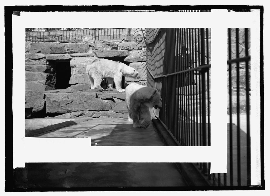 8 x 10 Reprinted Old Photo of  Bear, zoo 1909 National Photo Co  83a