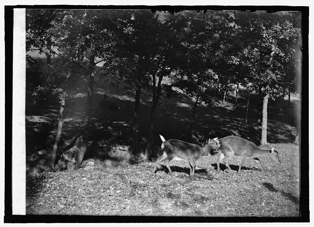 16 x 20 Reprinted Old Photo of Zoo park: deer 1909 National Photo Co  89a
