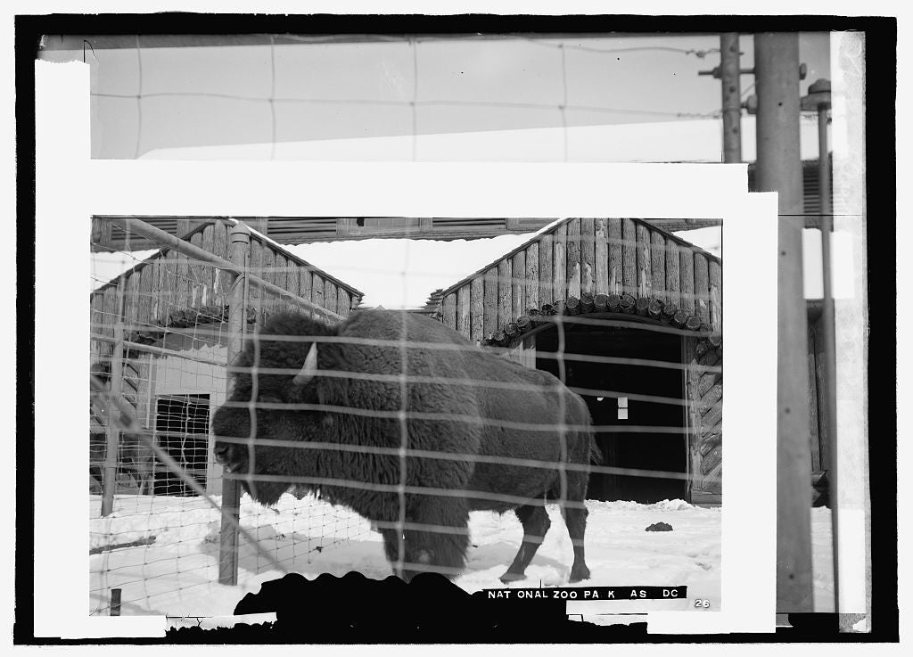 16 x 20 Reprinted Old Photo ofBuffalo zoo 1916 National Photo Co  69a
