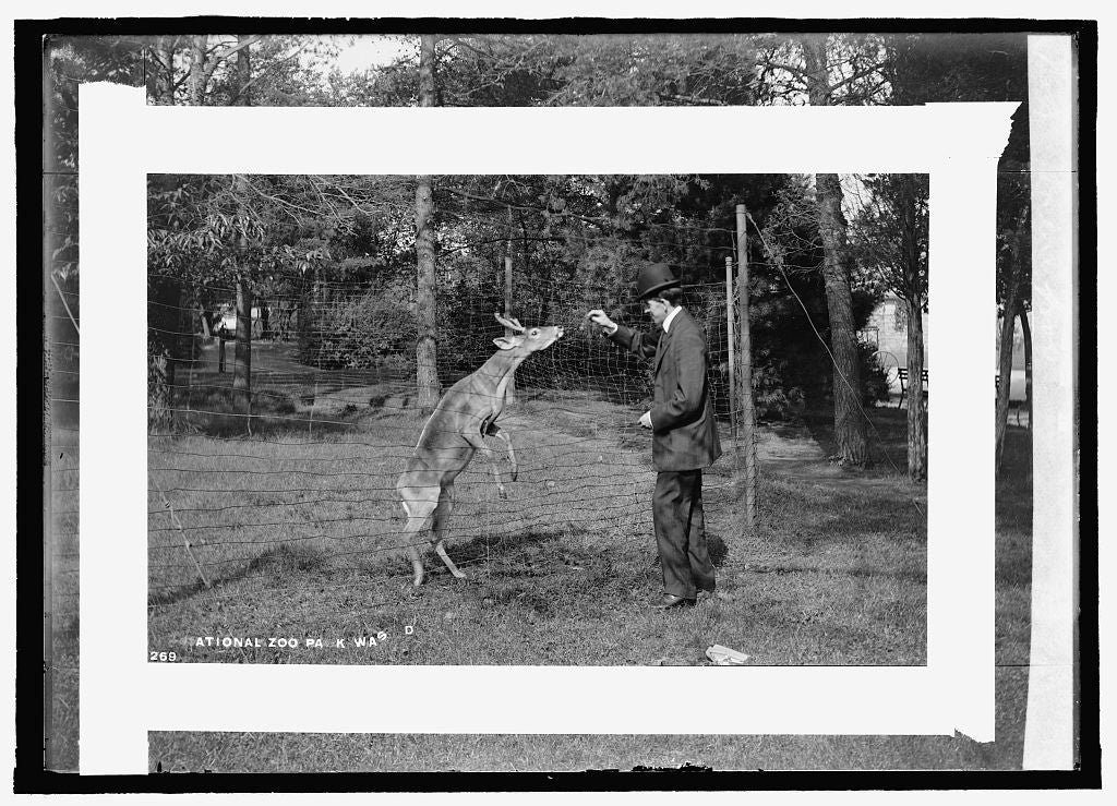 16 x 20 Reprinted Old Photo of Deer, zoo 1909 National Photo Co  91a