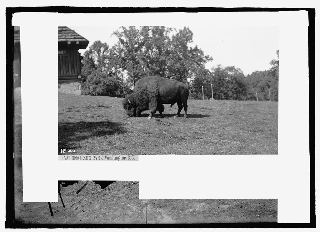 8 x 10 Reprinted Old Photo of  Zoo park: buffalo 1909 National Photo Co  07a