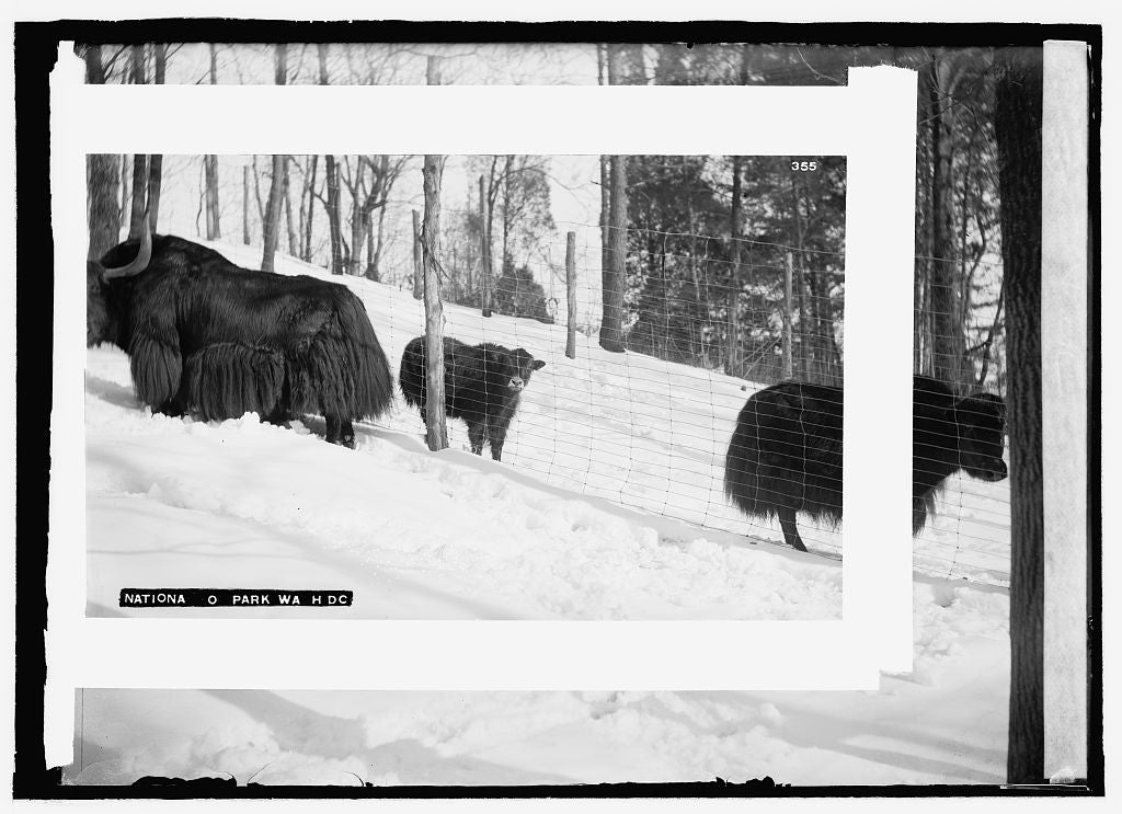 8 x 10 Reprinted Old Photo of  Zoo yak 1909 National Photo Co  31a