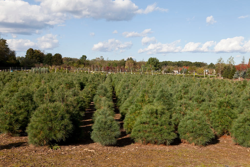 18 x 24 Photograph reprinted on fine art canvas  of Christmas tree farm Suffield Connecticut r32 2011 October by Highsmith, Carol M.