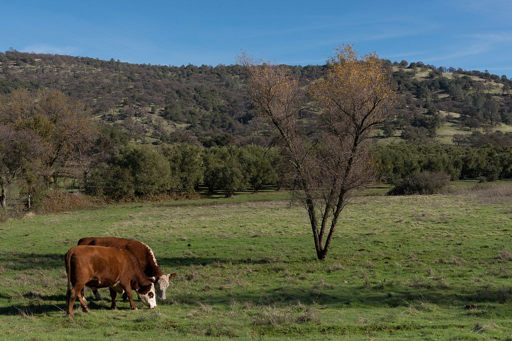 18 x 24 Photograph reprinted on fine art canvas  of Cattle graze along California Rt. 49 east of Live Oak in Yuba County r37 2012 by Highsmith, Carol M.