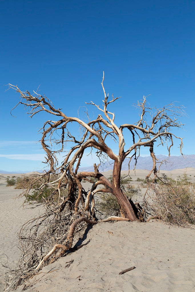 18 x 24 Photograph reprinted on fine art canvas  of Scraggly tree in the sand at the Mesquite Flat Sand Dunes of Death Valley National Park in California r02 2012 by Highsmith, Carol M.