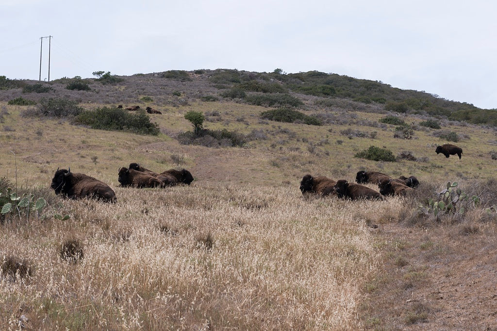 18 x 24 Photograph reprinted on fine art canvas  of Bison on Santa Catalina Island a rocky island off the coast of California  r60 2013 June by Highsmith, Carol M.,