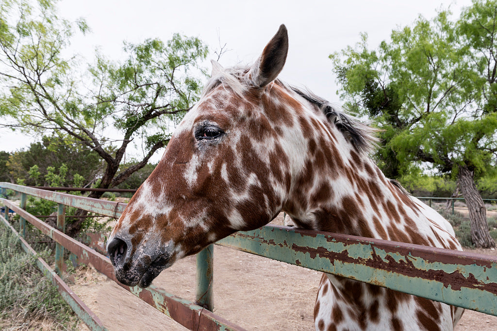 18 x 24 Photograph reprinted on fine art canvas  of Spotted horse near Segovia Texas  r99 41387 by Highsmith, Carol M.,