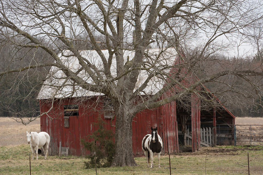 18 x 24 Photograph reprinted on fine art canvas  of Barn and horses near Clarksville in Red River County Texas  r18 41677 by  Highsmith, Carol M.
