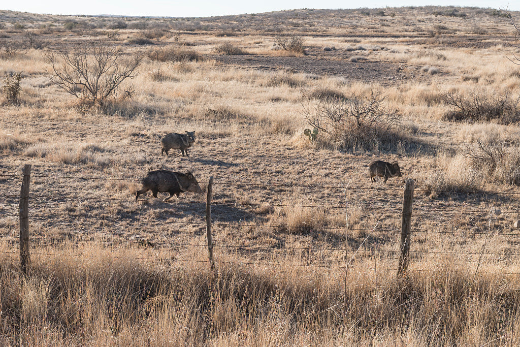 18 x 24 Photograph reprinted on fine art canvas  of Wild javelinas or peccaries scurry across a field in rural Presidio County Texas south of Marfa  r03 41715 by Highsmith, Carol M.,