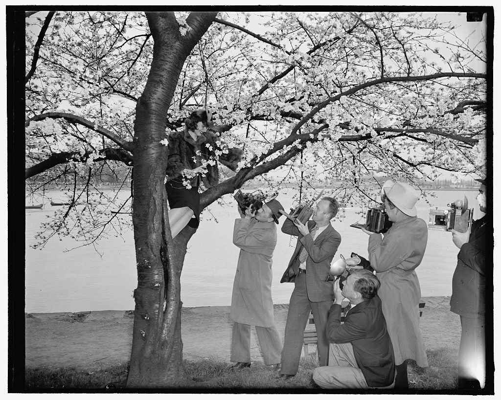 8 x 10 Reprinted Old Photo of Cameraman Tree Cherry Blossom Queen. Washington, D.C., March 28. Peggy Townsend, Pretty Washington Miss Who Will Be Crowned Queen Of The Cherry Bl 1937 Harris & Ewing 73a