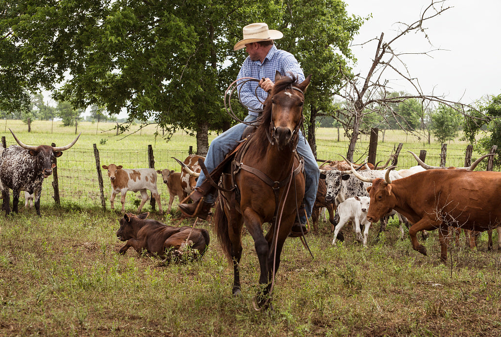 18 x 24 Photograph reprinted on fine art canvas  of Cowhand Craig Bauer atop his horse Spaghetti on the prowl for longhorn heifers and calves on branding day at the 1 800-acre Lonesome Pine Ranch a working cattle ranch that