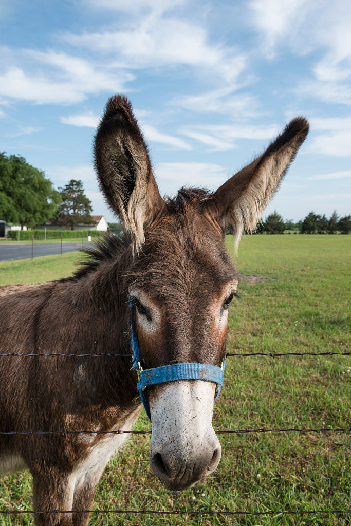 18 x 24 Photograph reprinted on fine art canvas  of An adorable donkey in a field in Bonham Fannin County Texas r30 41781 by Highsmith, Carol M.