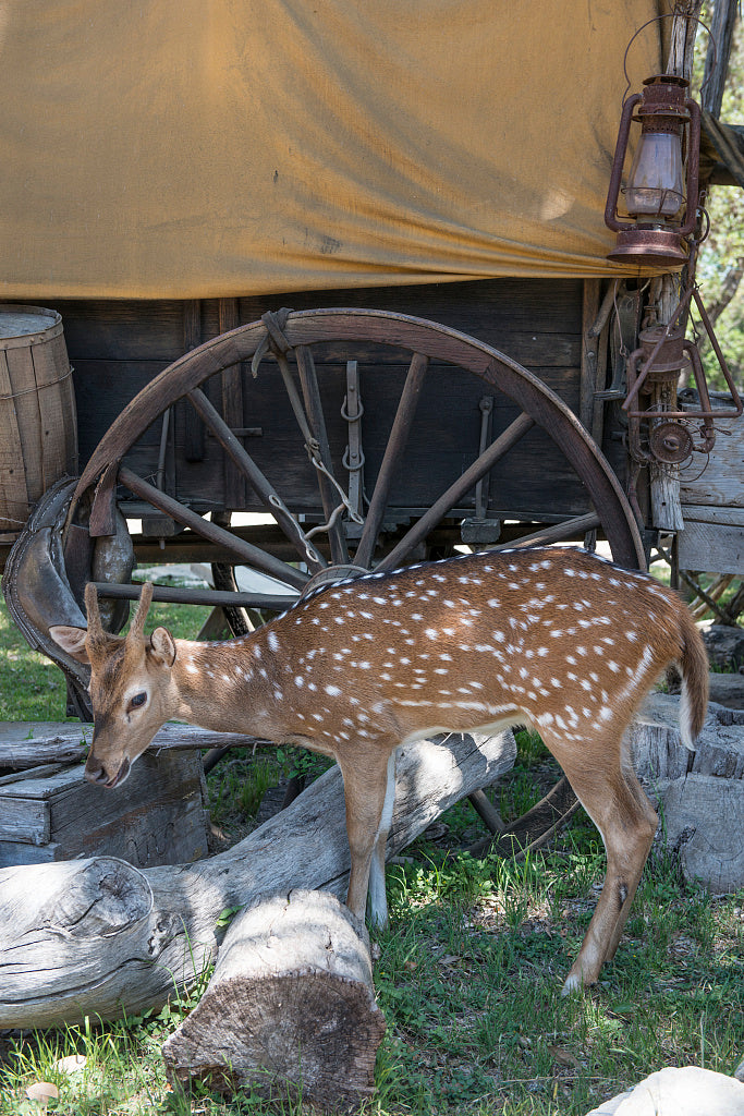 18 x 24 Photograph reprinted on fine art canvas  of A friendly fawn at the Enchanted Springs Ranch and Old West theme park special-events venue and frequent movie and television commercial set in Boerne Texas northwest of Sa