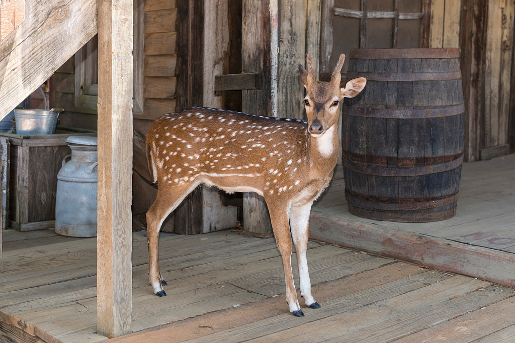 18 x 24 Photograph reprinted on fine art canvas  of A docile young deer at the Enchanted Springs Ranch an Old West theme park special-events venue and frequent movie and television commercial set in Boerne Texas northwest of