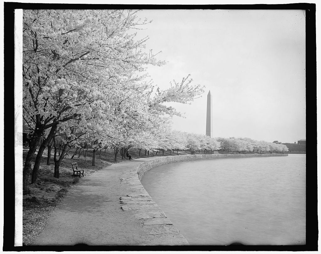 16 x 20 Reprinted Old Photo of Japanese cherry trees, [Washington, D.C.] 1910 National Photo Co  12a