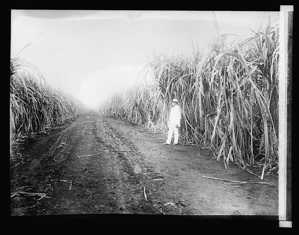 16 x 20 Reprinted Old Photo of127. Cane field, Cuba 1923 National Photo Co  58a